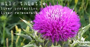 Liver Disease Treatment  With Milk Thistle